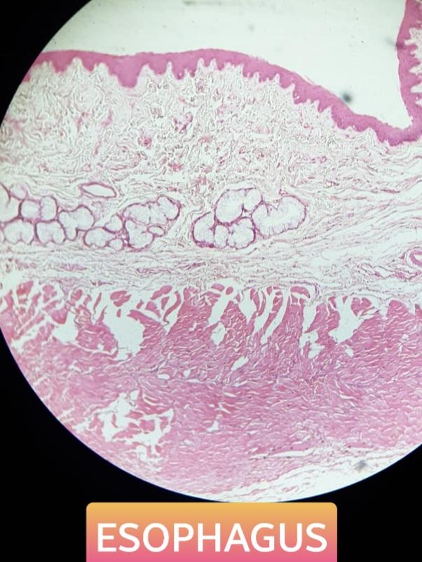 esophagus histology slide for mbbs 1st year