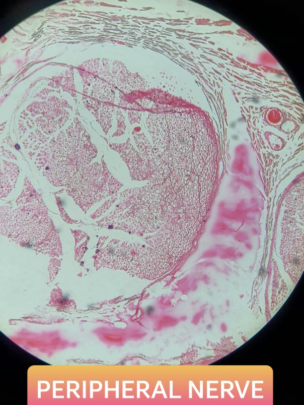 peripheral nerve histology slide for 1st year mbbs