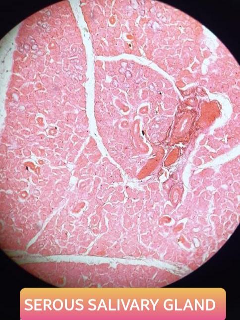serous salivary gland histology slide for mbbs 1st year